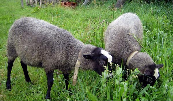 Romanov koyunu uretimi - Dünyanın En Verimli Koyunu Romanov Koyun Üretimi