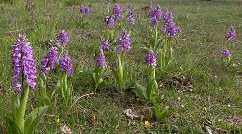Salep Orkidesi Yetiştirmek Kârlı Bir İş