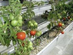 balkonda domates