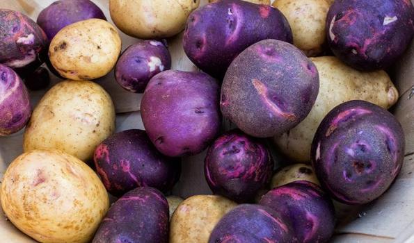 mor patates