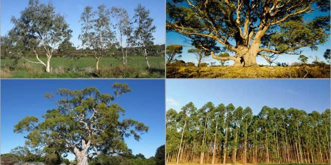 Okaliptus agaci - Okaliptüs Yağı Üretmek İlgi Çeken İşler Arasında