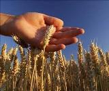 """""""Süper Buğday"""" geliyor!"""